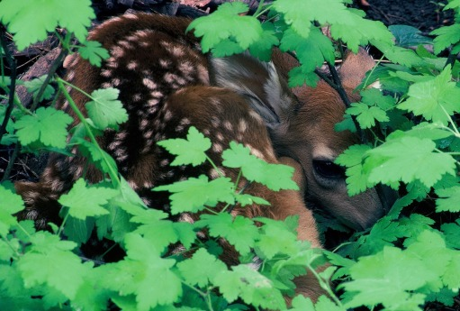 fawn in the trees by Ed Dahl