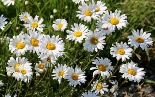 A Daisy Day in May by Brent M