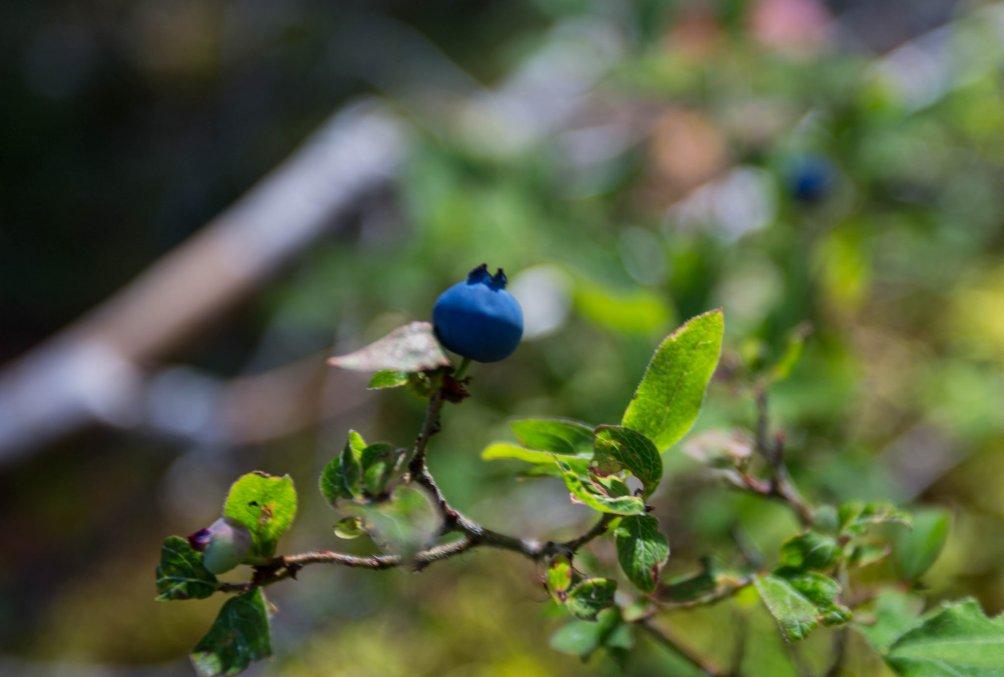 Blueberry Hannah N