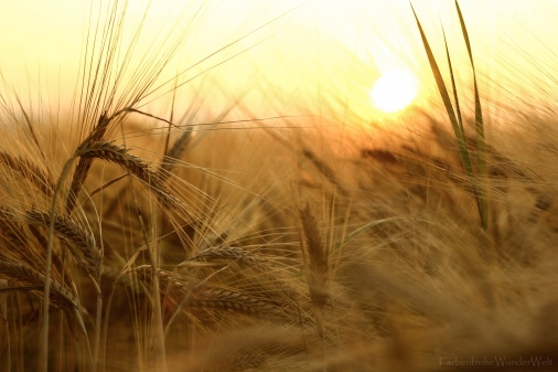 Wheat FarbenfroheWunderwelt
