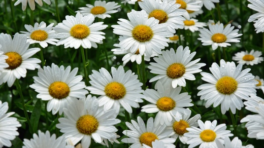 Daisies by Peter Miller