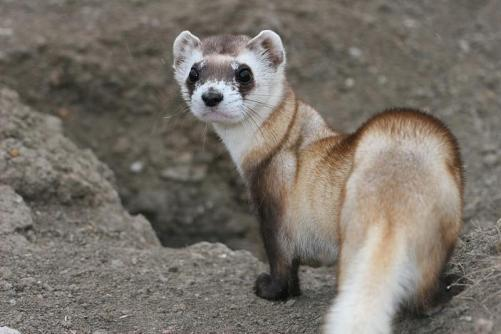 Black-footed Ferret USFWS Mountain Prairie