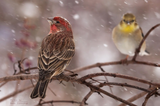 Housefinch with Goldfinch