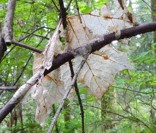 leaf 2 by Gail Purdy